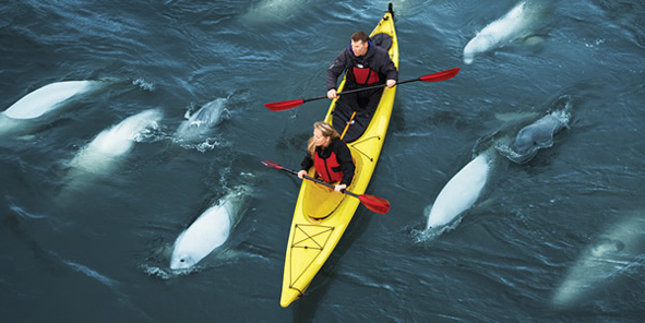Image result for beluga whales churchill
