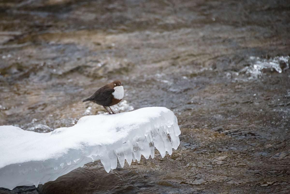 Wasseramsel im Eistobel im Allgäu