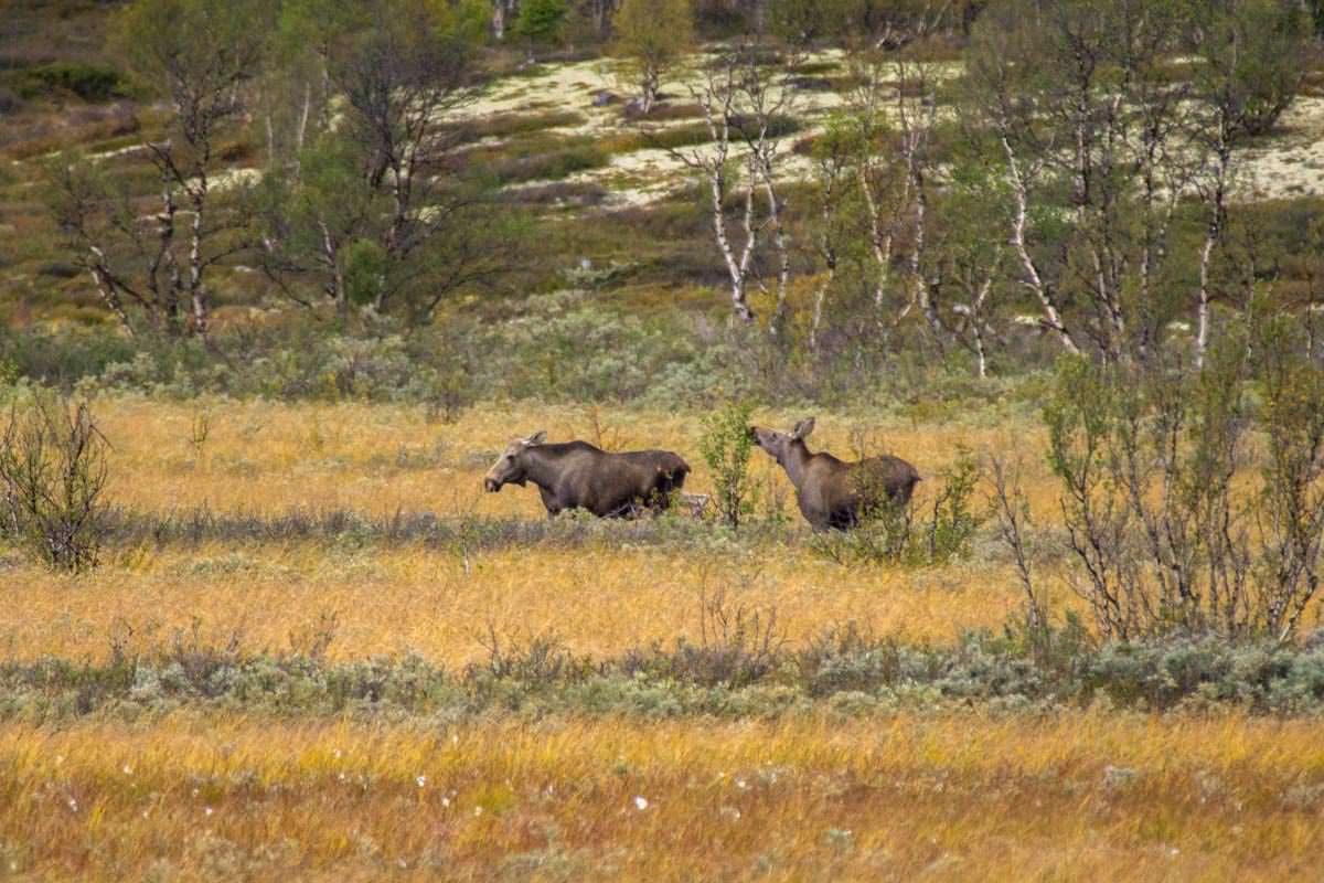Elche bei Furuhaugli im Dovrefjell Nationalpark