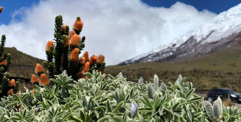Chuquiraga jussieu, a shrub that grows as tall as three and a half feet with pale yellow and orange tips at Cotopaxi National Park