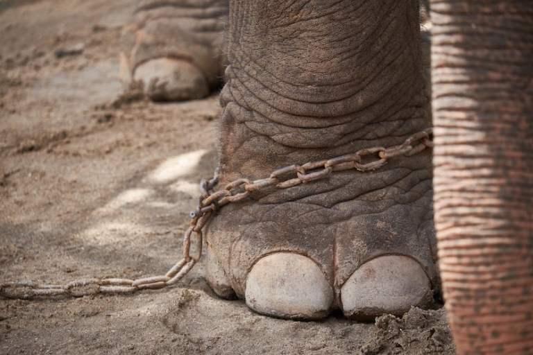 elephant cruelty in training - the crush