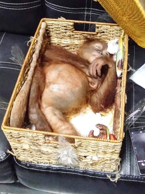 Orangutan Smuggled in Bali
