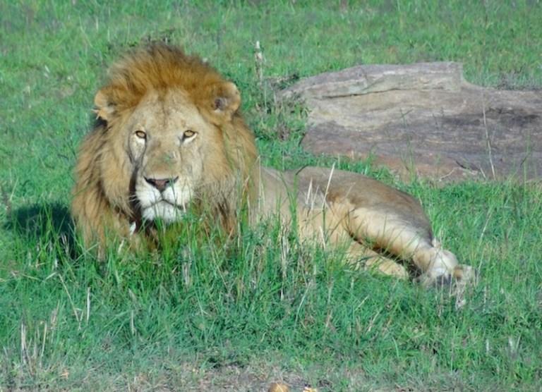 lion sighting on african safari trip
