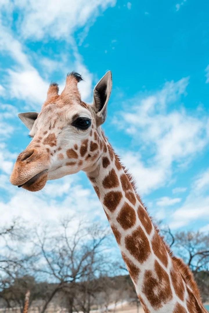 giraffe on african safari
