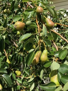 We live in an RV and grow pears and other fruit