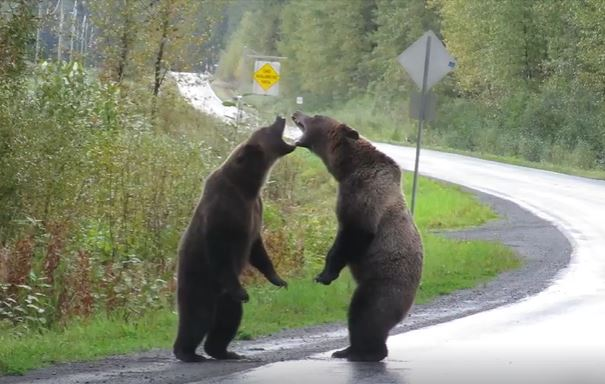 Rare Video of Two Grizzly Bears Fighting in Canada As Wolf Watches