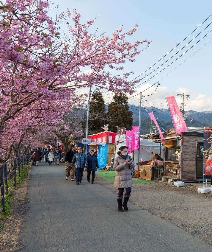 cherry blossom during covid