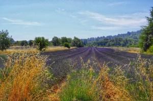 lavender-june
