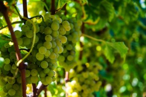 Grapes of Sauternes