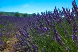 lavender-2016-15