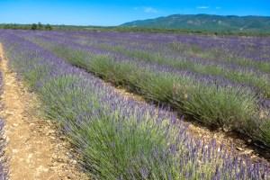 lavender-2016-7