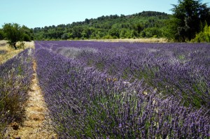 J49-lavender-field