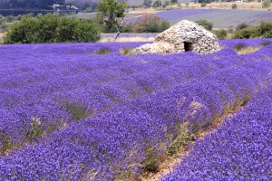 Old borie ane lavender field in Provence, south of France