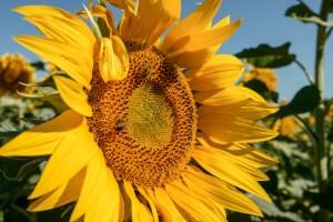 2018-sunflowers