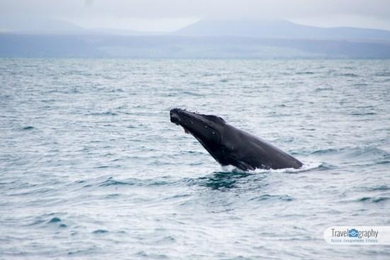 Walbeobachtung Husavik