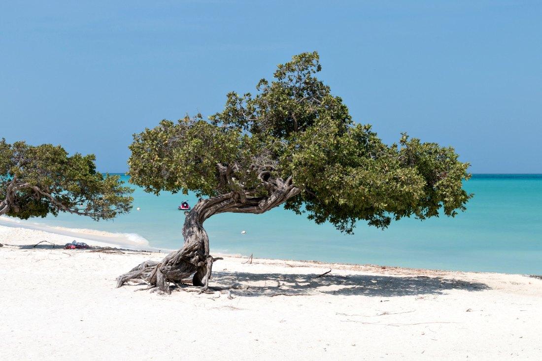 Divi Divi Tree op Aruba