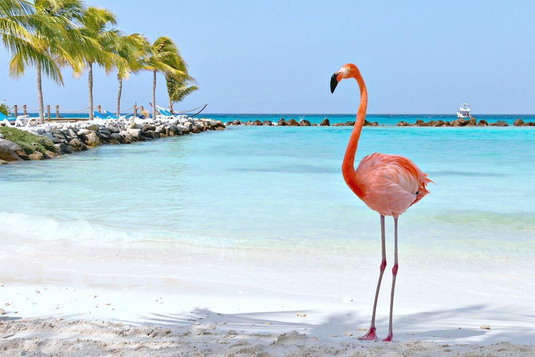 Flamingo op het strand van Aruba