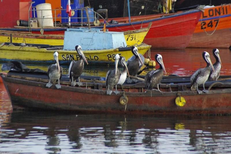 Pelikaner auf Fischerbooten in Arica, Nordchile