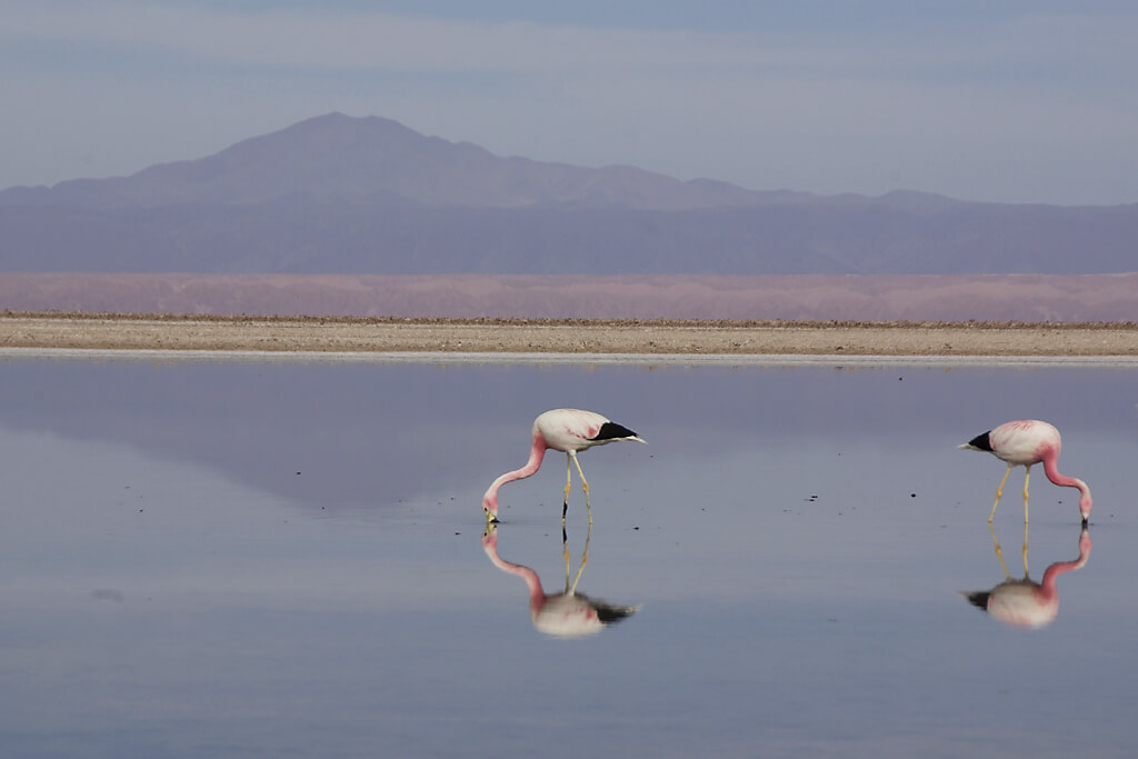 Flamingos in der Atakama in Chile