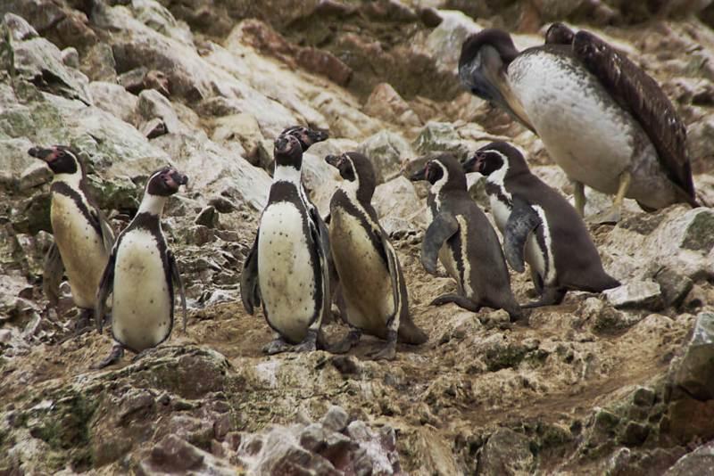 Pinguine auf den Inseln vor Paracas