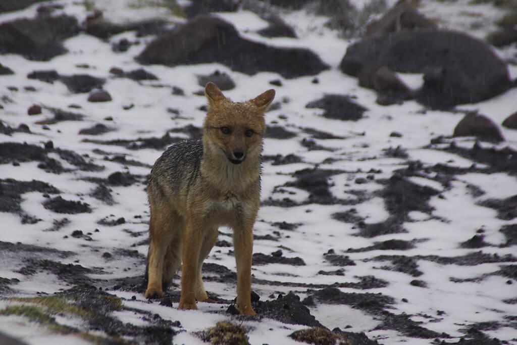 Wolf auf dem Vulkan Chimborazo
