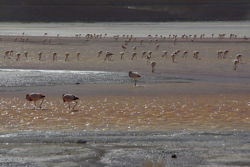 Flamingos an der Laguna Colorada in Bolivien