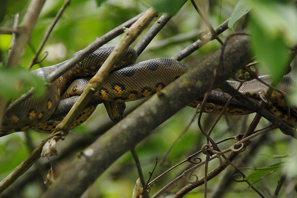 Baby-Anakonda in Ecuadors Dschungel