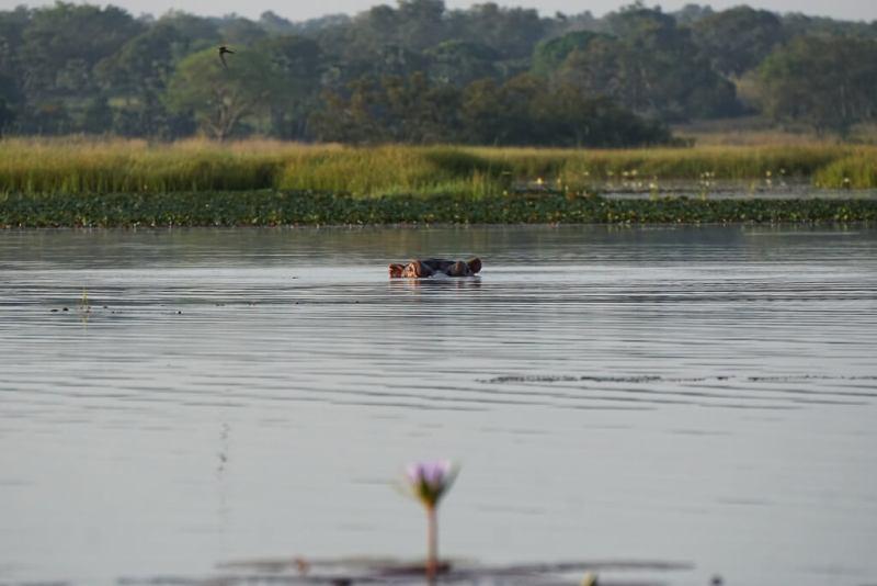 Nilpferd im Lac Téngréla in Burkina Faso