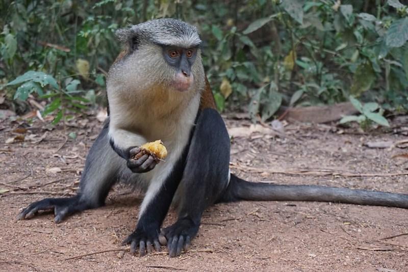 Affe in Afi Tomé in der Volta-Region