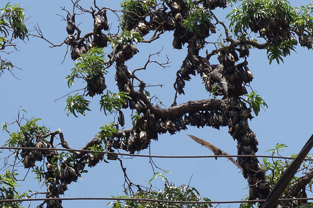 Fledermäuse am Baum in Togo