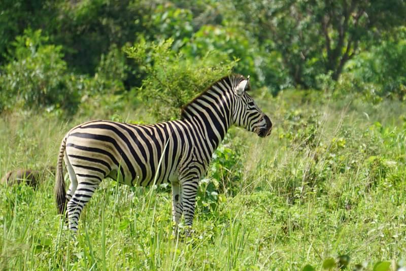 Zebra im Park Sarakawa in Togo