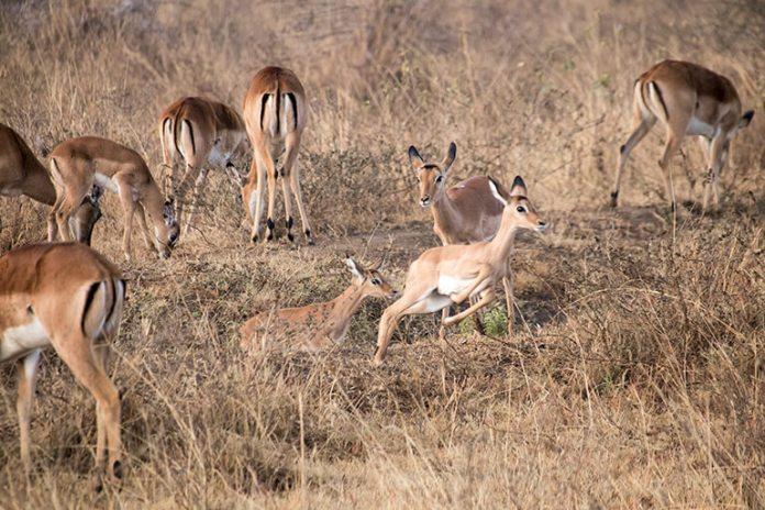 Spielende Antilopen