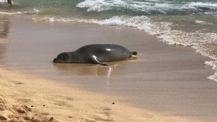 A monk seal chills on the beach