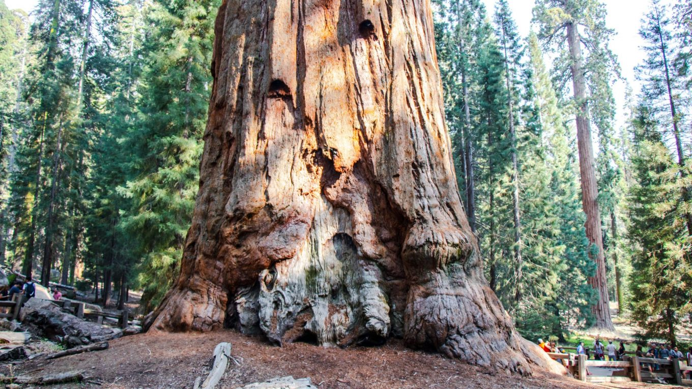 My moments with General Sherman - The largest tree on earth!