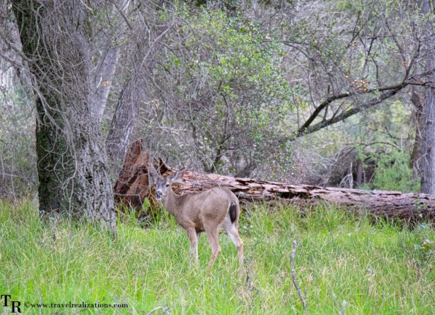 Postcards from Pinnacles National Park, Travel Realizations, deer