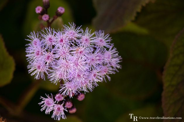 Mendocino Coast Botanical Gardens - A Photo Essay, pink Flowers, Travel Realizations