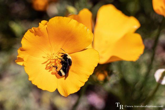 Mendocino Coast Botanical Gardens - A Photo Essay, yellow Flowers, Travel Realizations