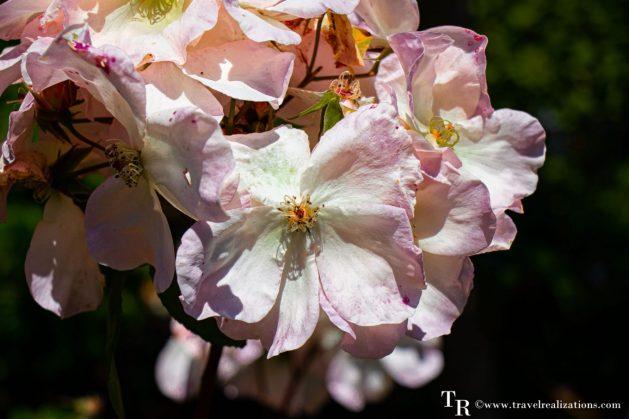 Mendocino Coast Botanical Gardens - A Photo Essay, pink Flowers, Travel Realizations