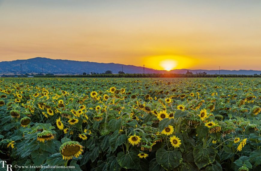 Sunflower studded summer sunset in California!