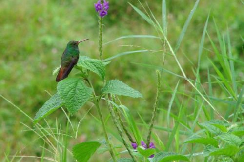 Hummingbird El Castillo, Costa Rica