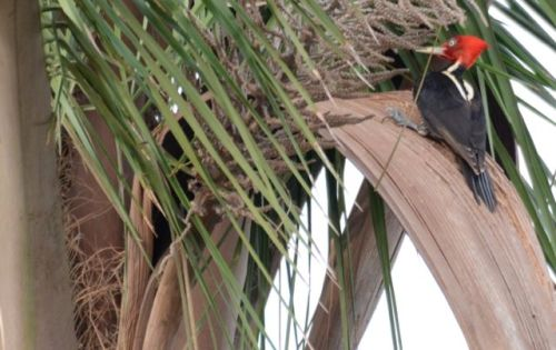 The Red-capped Tropical Palmpecker (named it myself)