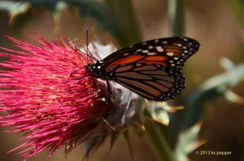 Mariposa Monarca - Monarch Butterfly