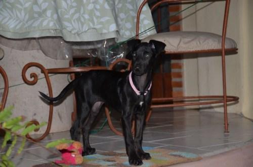 Starlet rescue dog