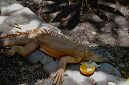 Iguana Sayulita Mexico
