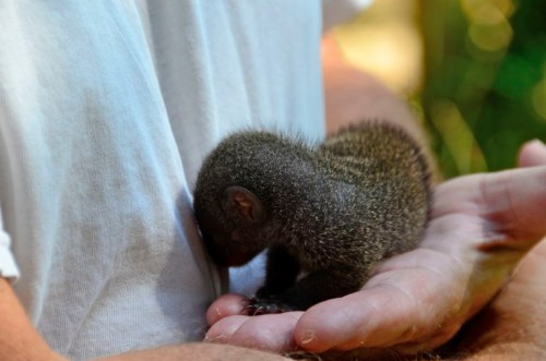 Baby Banded Mongoose