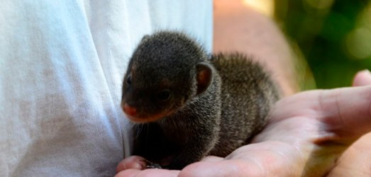 Babysitting a Banded Mongoose Pup in Marloth Park