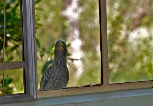 Hornbill at the window
