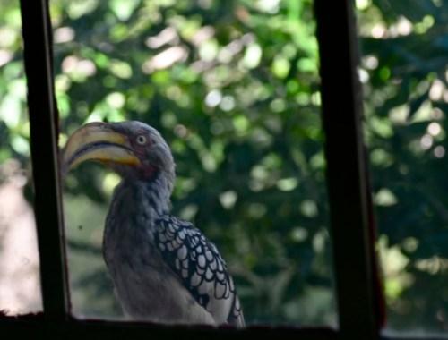 Yellow-billed Hornbill Marloth Park