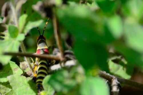 Elegant Grasshopper or Rainbow Locust