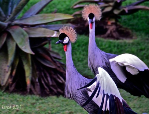 Crowned Crane - South Africa, Kenya and Uganda